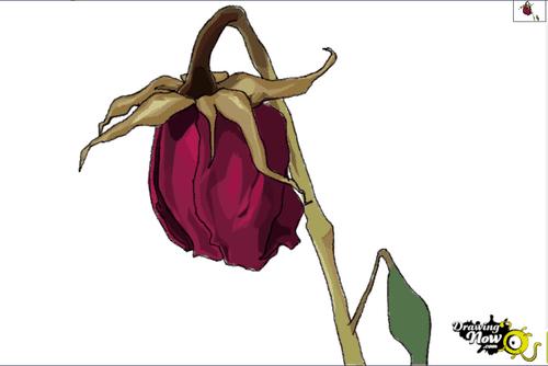 Hướng dẫn vẽ: Cách vẽ hoa hồng héo