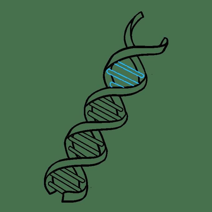 Cách vẽ DNA: Bước 8