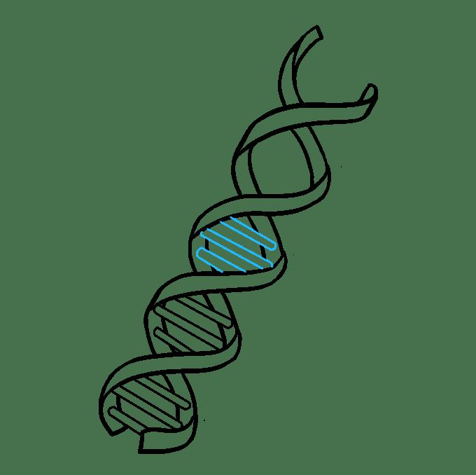 Cách vẽ DNA: Bước 7